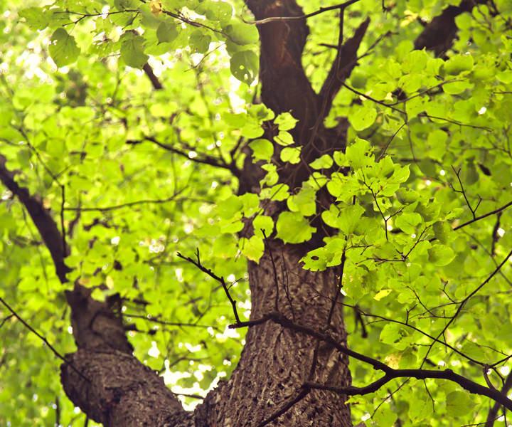 Lindenholz Baum